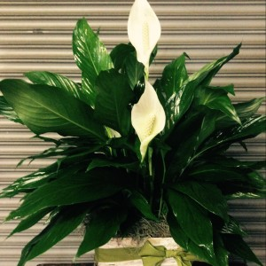 Order your Peace Lily from Just Priceless