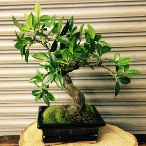 Faux Bonsai at Just Priceless